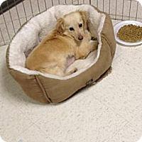 Adopt A Pet :: Blondie - Morgantown, WV