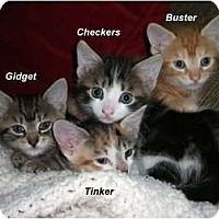 Adopt A Pet :: Checkers - Jacksonville, FL