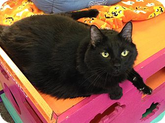 Domestic Mediumhair Cat for adoption in Topeka, Kansas - Ace