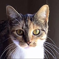 Calico Cat for adoption in Tyler, Texas - A-Emma