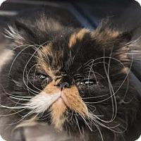 Adopt A Pet :: Precious Precious Pookie Pants - Austin, TX