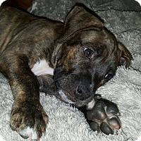 Adopt A Pet :: Bonnie - Windermere, FL