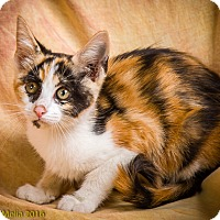 Domestic Shorthair Kitten for adoption in Anna, Illinois - HARMONY