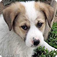 Adopt A Pet :: Gibbs in NY - new pup! - Beacon, NY