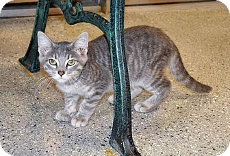 Domestic Shorthair Kitten for adoption in Michigan City, Indiana - Roy