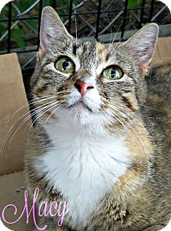 Domestic Mediumhair Cat for adoption in Roanoke, Virginia - Macy