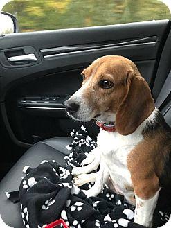 Beagle Dog for adoption in Burlington, North Carolina - Daisy