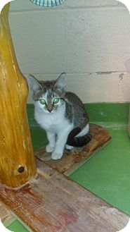 Domestic Shorthair Cat for adoption in South Haven, Michigan - Celeste
