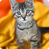 Domestic Shorthair Kitten for adoption in Chattanooga, Tennessee - Harry Potter