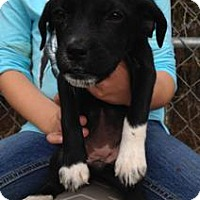 Adopt A Pet :: Lab/Boxer mix pups!--arriving soon - Chichester, NH