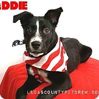 Adopt A Pet :: Eddie - Toledo, OH