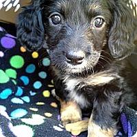 Adopt A Pet :: Gretchen - Homewood, AL
