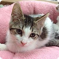 Adopt A Pet :: Little Sh*t - Byron Center, MI