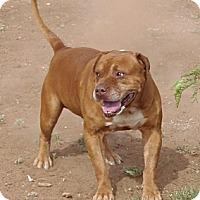 Adopt A Pet :: Tank - Post, TX