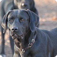 Labrador Retriever Mix Dog for adoption in Temple, Georgia - Duke