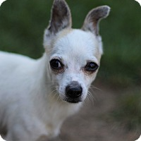 Chihuahua Mix Dog for adoption in Romeoville, Illinois - Lupe