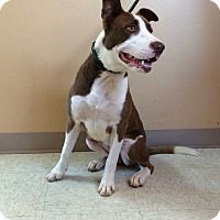 Adopt A Pet :: Candy - Woodward, OK