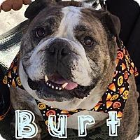 Adopt A Pet :: Burt - Santa Ana, CA