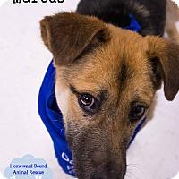Adopt A Pet :: Marcus - Bedford, TX