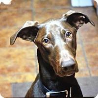 Adopt A Pet :: Linus - Mesa, AZ
