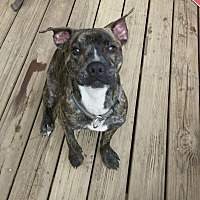 Pit Bull Terrier Mix Dog for adoption in Asheboro, North Carolina - Zeb
