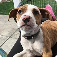 Adopt A Pet :: Shizzle - Detroit, MI