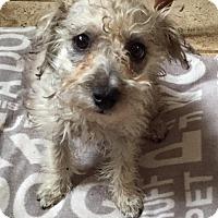 Adopt A Pet :: Flo - Redondo Beach, CA
