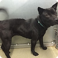 Adopt A Pet :: Layla - Manchester, NH