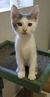 Domestic Shorthair Kitten for adoption in Owenboro, Kentucky - DERRICK!