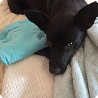 Adopt A Pet :: Layla Happy and Affectionate Family Doggie - Rowayton, CT