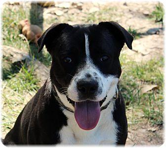 Labrador Retriever Mix Dog for adoption in Welland, Ontario - Rocky