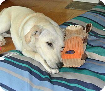 Labrador Retriever Mix Dog for adoption in Surrey, British Columbia - Millie