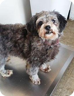 Miniature Poodle/Shih Tzu Mix Dog for adoption in Chicago, Illinois - Gala