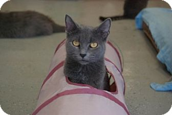 Domestic Shorthair Cat for adoption in Martinsville, Indiana - Mildred