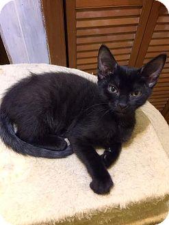 Domestic Shorthair Kitten for adoption in Mooresville, North Carolina - A..  Dagan
