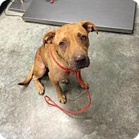 Adopt A Pet :: Ginger - Paducah, KY