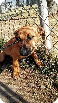 Dachshund Mix Dog for adoption in Manhattan, Kansas - Kodi