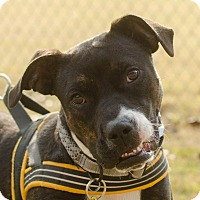 Boxer/Boston Terrier Mix Dog for adoption in Greenwood, South Carolina - Monica