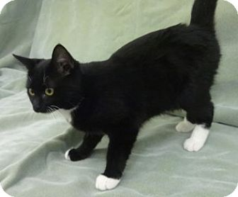 Domestic Shorthair Cat for adoption in Olive Branch, Mississippi - Macy
