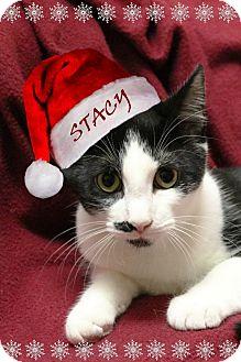 American Shorthair Kitten for adoption in Rochester, New York - Scott and Stacy