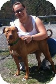 American Pit Bull Terrier Mix Dog for adoption in Staatsburg, New York - Chelse- Crosspost
