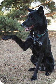 German Shepherd Dog Dog for adoption in Denver, Colorado - Whiskey