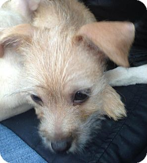 Jack Russell Terrier/Chihuahua Mix Puppy for adoption in Chicago, Illinois - Bonnie