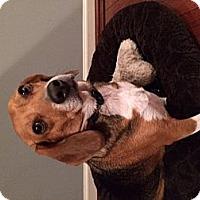 Adopt A Pet :: Sweet Pea - Alexandria, VA