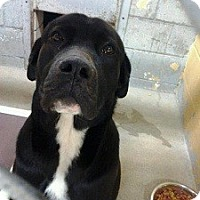 Adopt A Pet :: Mortie - North Wales, PA
