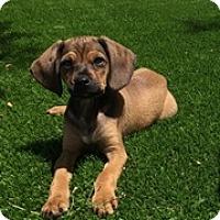 Adopt A Pet :: Chip - Tustin, CA