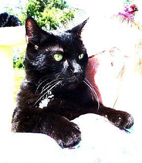 Domestic Shorthair Cat for adoption in Cincinnati, Ohio - Binx
