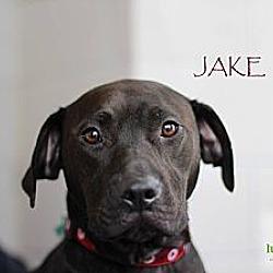 Photo 3 - Labrador Retriever/Pit Bull Terrier Mix Dog for adoption in Alpharetta, Georgia - Jake
