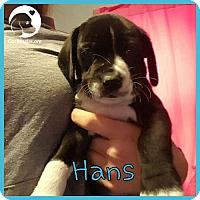 Adopt A Pet :: Hans - Novi, MI