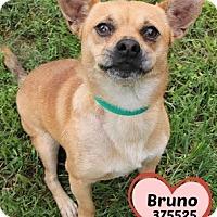 Adopt A Pet :: 375525 Bruno - San Antonio, TX